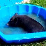 Koupání miniprasátka v bazenu na zahradě